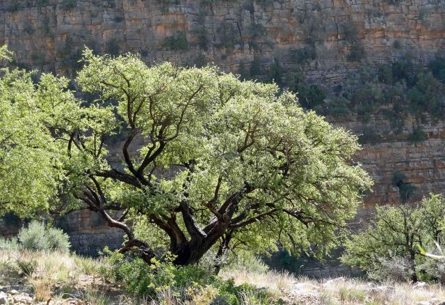 Argan tree (Argania spinosa) in Morocco