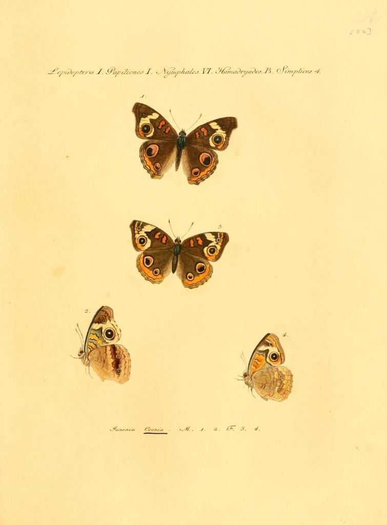 Junonia coenia Hübner, [1822]; Samml. exot. Schmett. 2 : pl. 32. https://openlibrary.org/