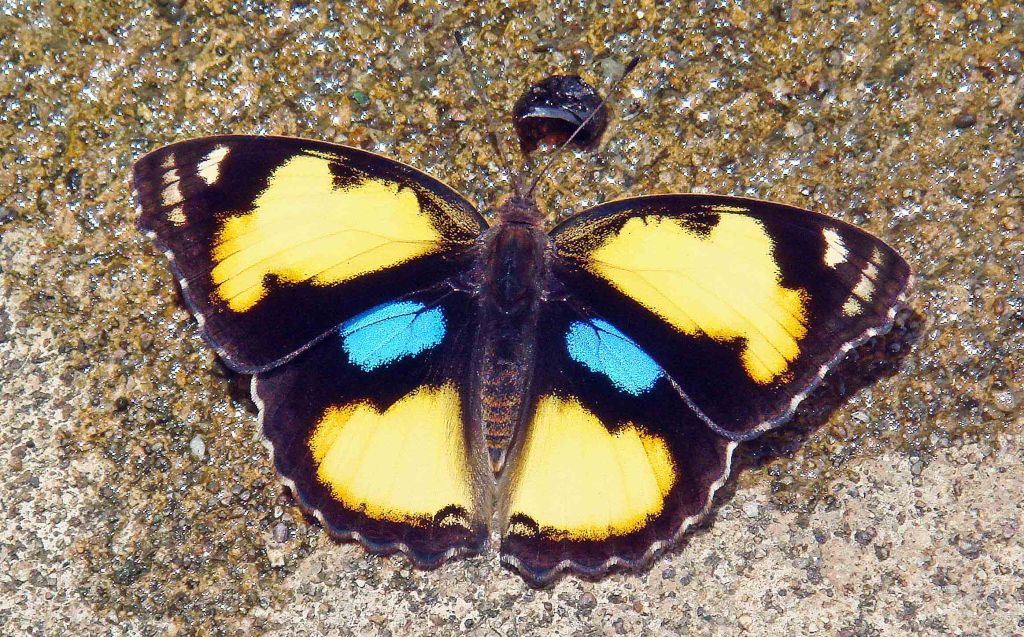 Yellow Pansy (Junonia hierta) (Fabricius, 1798) in northern Thailand