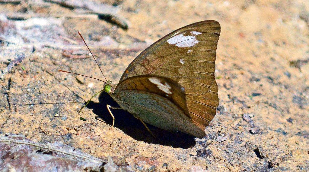 Common Earl (Tanaecia julii odilinia)