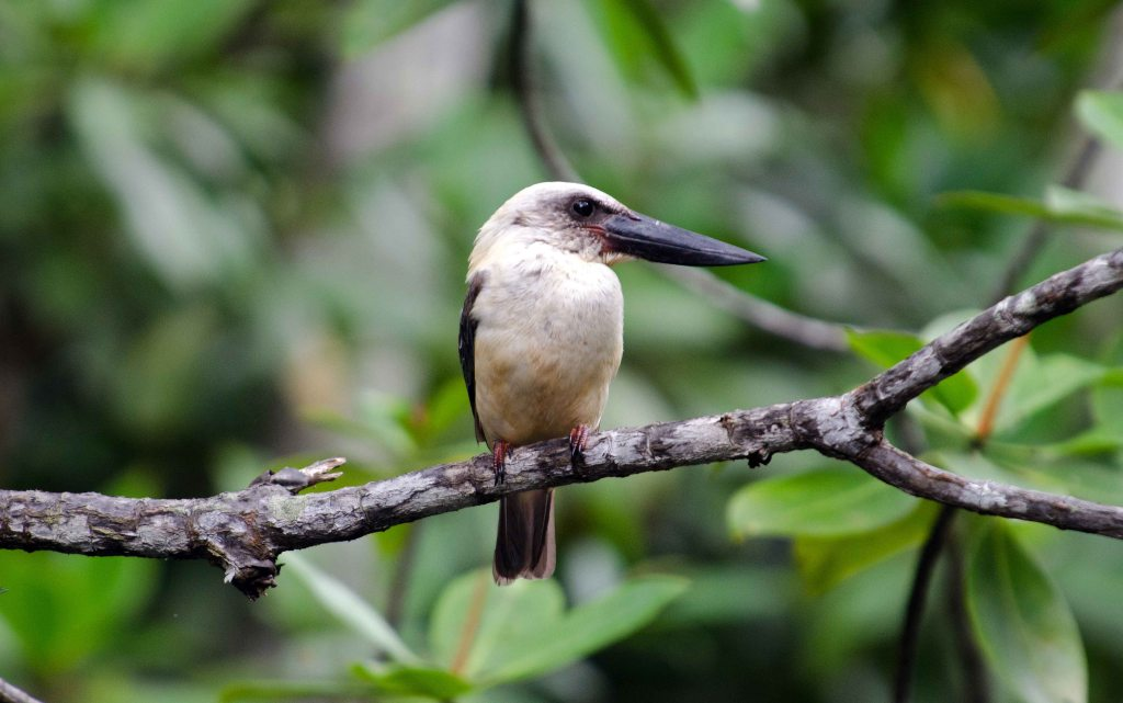 Great-billed Kingfisher