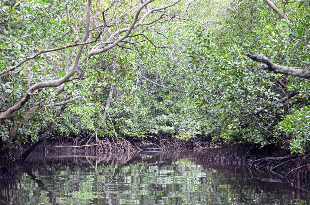 Mangrove creek with Great-billed kingfisher on a branch