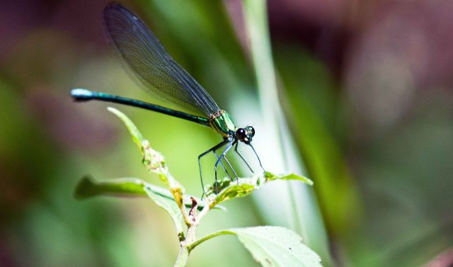 Damselfly  (Vestalaria smaragdina)
