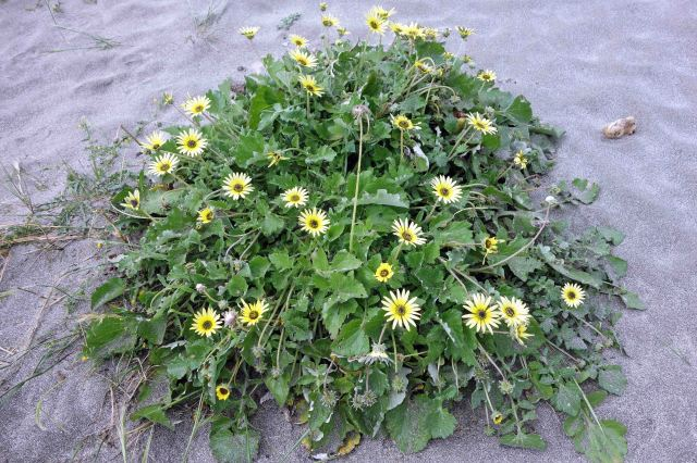 Arctotheca calendula clump on the beach at Morouzos, Ria Ortigueira, Galicia.