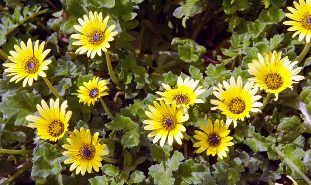 Arctotheca calendula flowers, Galicia, Spain.
