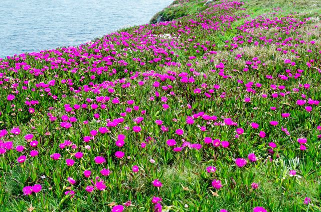 Carpobrotus edulis in Galicia (Cabo de Bares)_edited-1