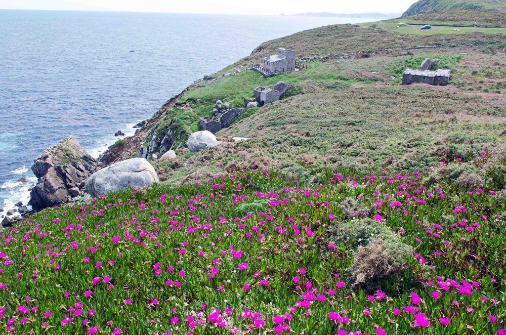 Carpobrotus edulis in Galicia (Punta de Estaca de Bares)
