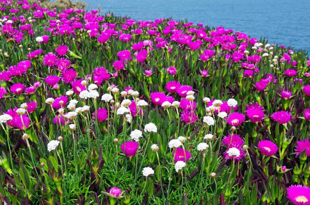 Carpobrotus edulis surrounding sea pinks in Galicia (Cabo de Bares)