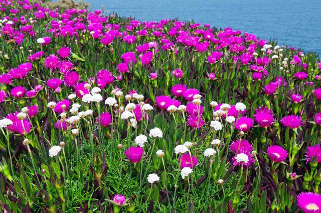Carpobrotus edulis surrounding sea pinks in Galicia (Cabo de Bares)