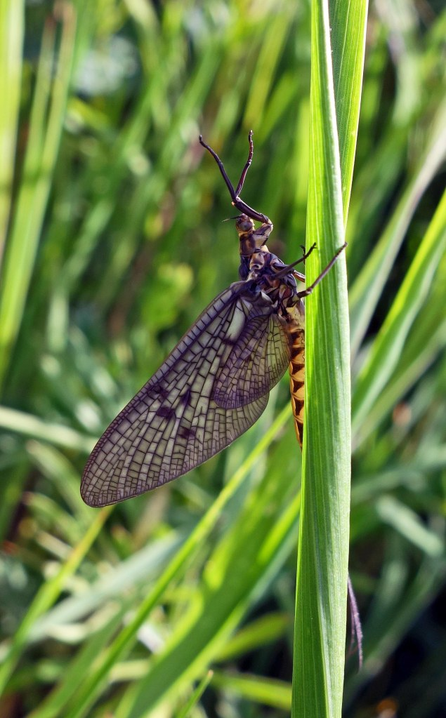 Mayfly (Ephemera vulgata) adult, R Ouse Beds
