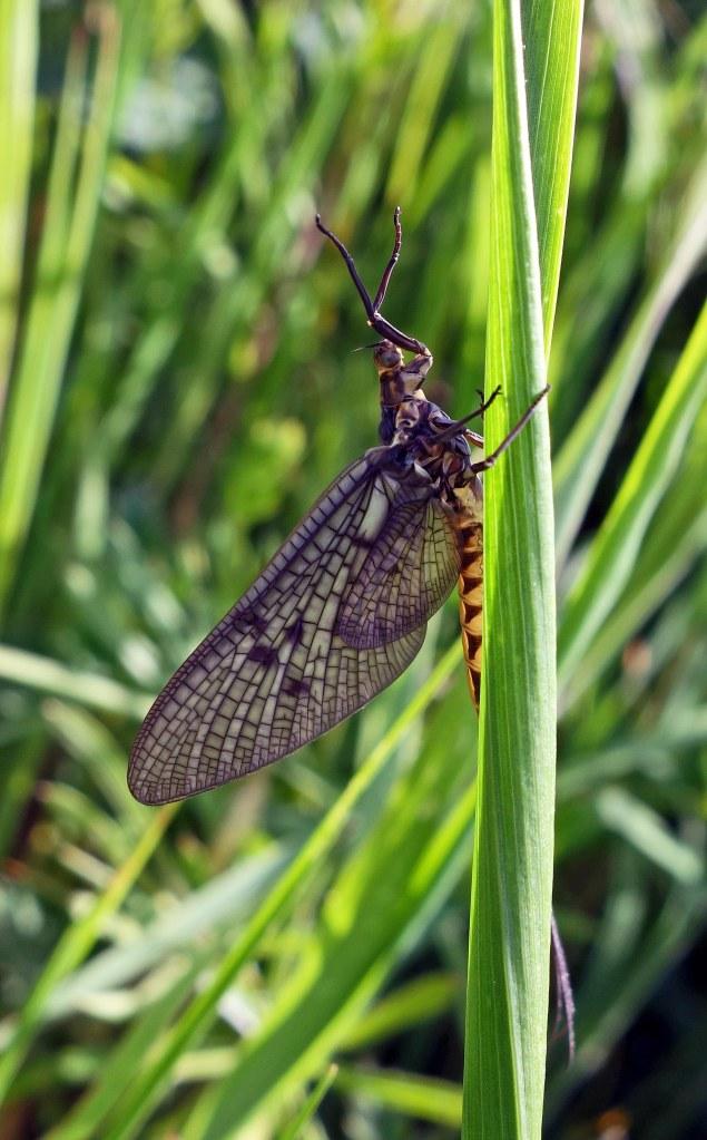 Mayfly (Ephemera vulgata) adult, R Ouse Beds