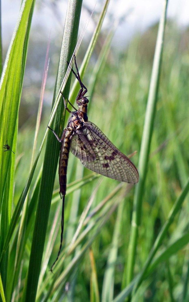 Mayfly (Ephemera vulgata) imago R Ouse, Beds