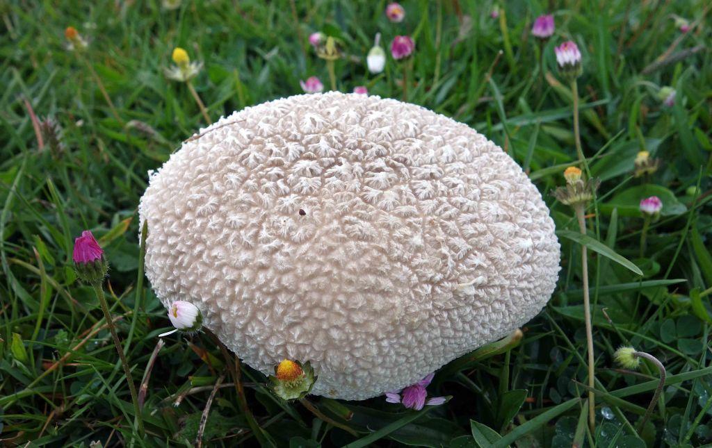 Mosaic Puffball (Handkea utriformis)