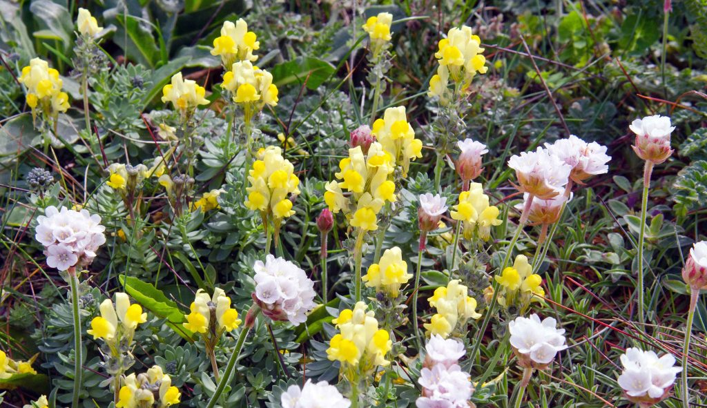 Prostrate Toadflax (Linaria supina subsp. martima) and sea pinks