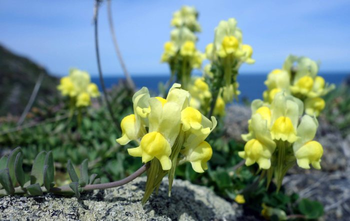 Prostrate Toadflax (Linaria supina subsp. maritima) in decumbent mode