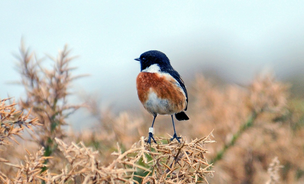 Stonechat (Saxicola rubicola rubicola) breeding male with ring (Cabo de Bares, Galicia, NW Spain) early April