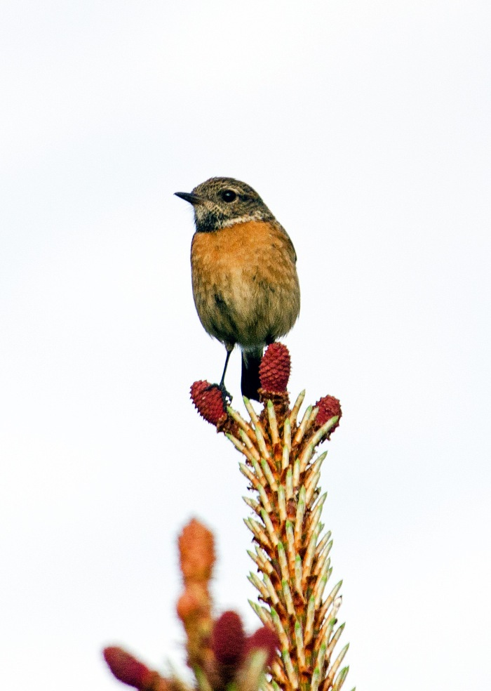 Stonechat (Saxicola rubicola rubicola) adult female in late April in Spain. Note the 'dark throat and white neck patches set off against a dull orange-toned breast' (Ref. 9)
