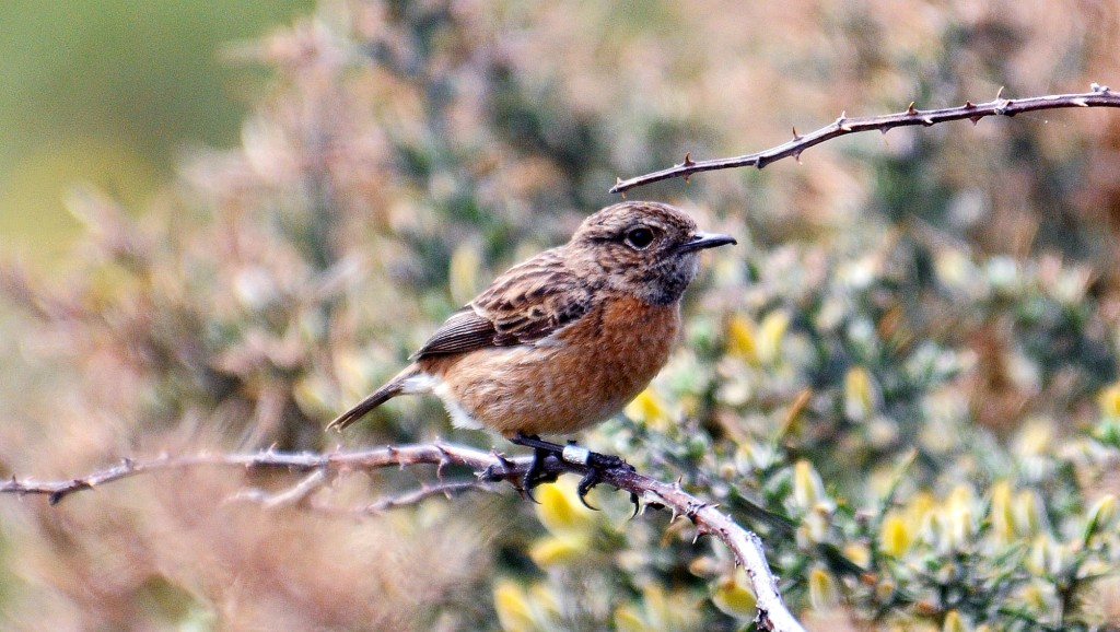 Stonechat (Saxicola rubicola rubicola) adult female in early April, Galicia, Spain. Note dark throat which can darker as the spring progress according to Ref . 9.
