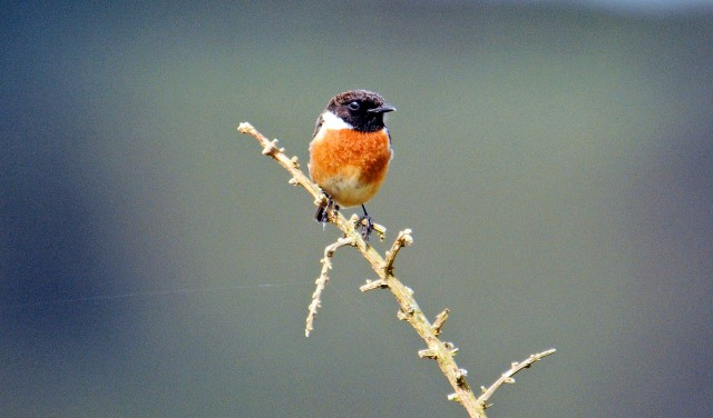 Stonechat (Saxicola rubicola rubicola) adult male in early April in Galicia, Spain