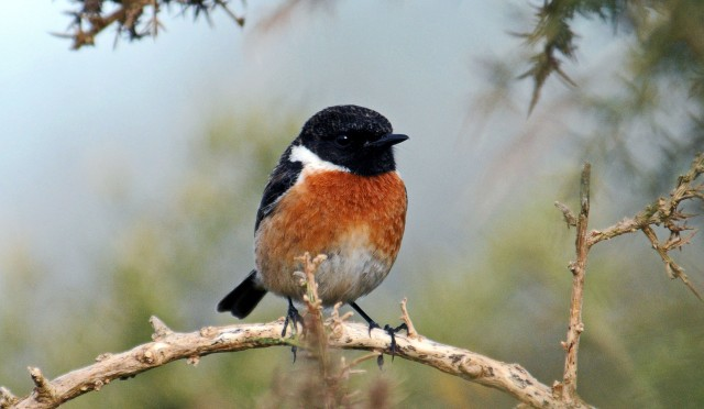Common Stonechat (Saxicola rubicola rubicola) adult male in early March in NW Spain (Galicia)