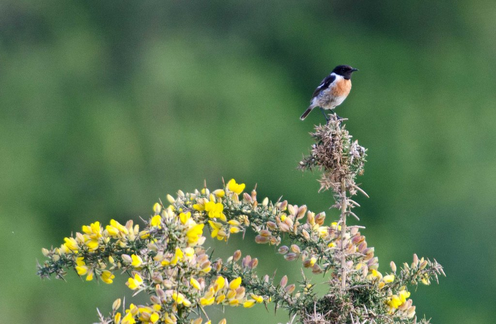 Stonechat (Saxicola rubicola rubicola) adult male sitting on a gorse bush in late April in Galicia, Spain