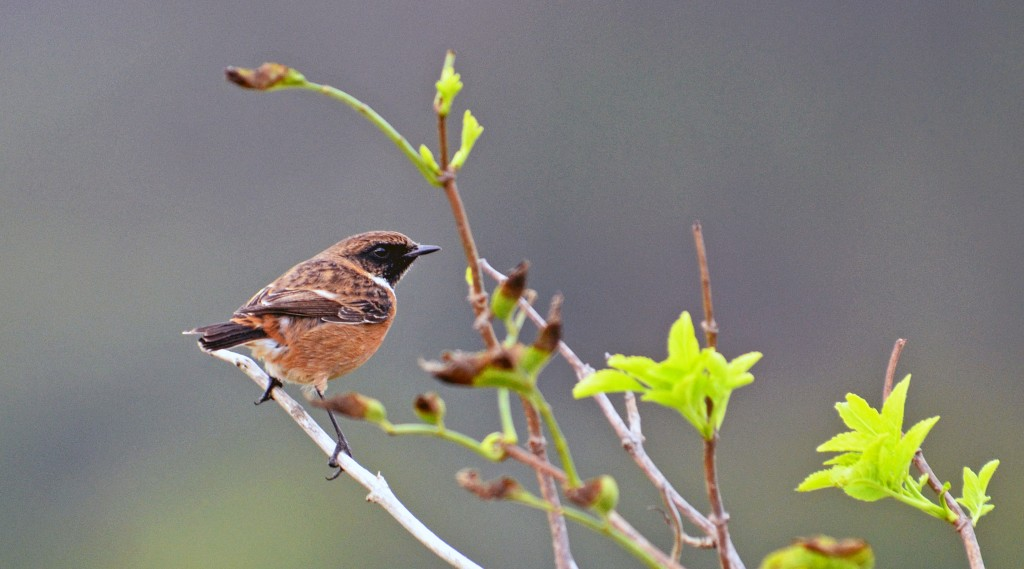 Stonechat (Saxicola rubicola rubicola) adult male non-breeding plumage, in mid Oct in Galicia, Spain
