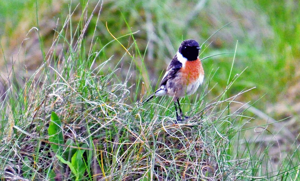 Stonechat (Saxicola rubicola rubicola) adult male on the ground in Galicia, Spain. Note broad white neck patch and white extending up the breast.