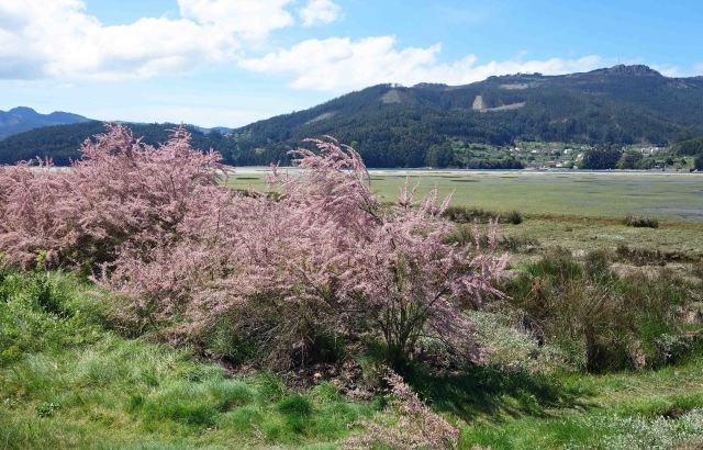 Tamarisk shrub flowering in late April in Galicia, Spain.