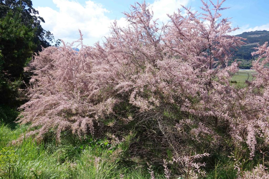 Tamarisk (Tamarix gallica) in flower in late April in Galicia, Spain