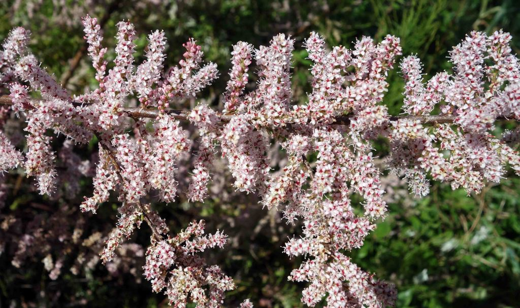 Tamarisk (Tamarix gallica) flowers in late April
