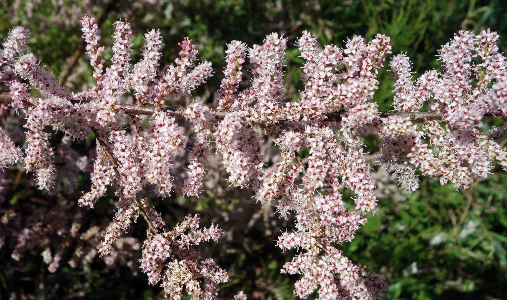Tamarisk (Tamarix gallica) flowers in late April