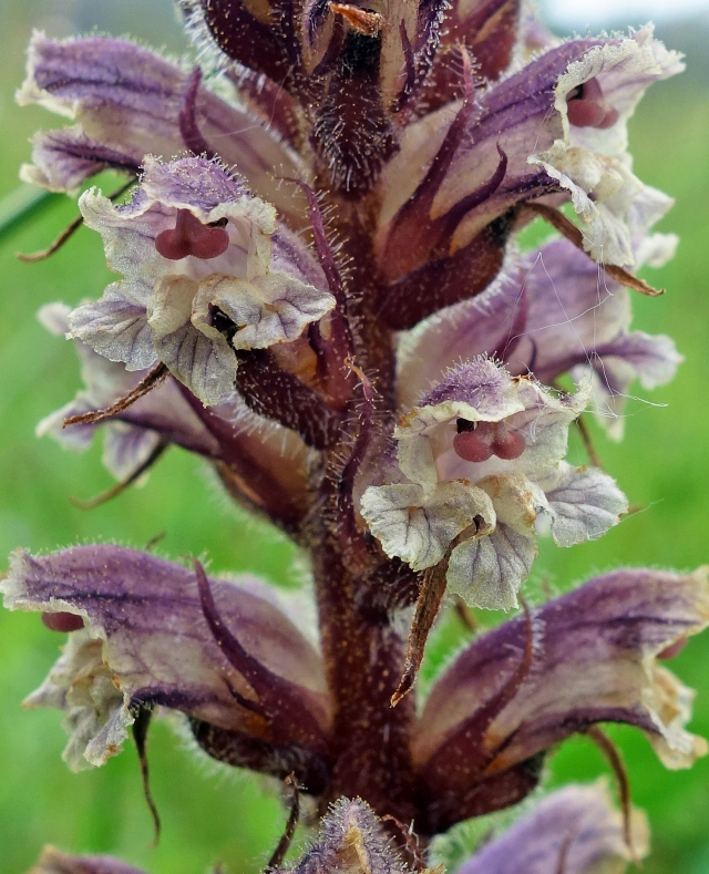 Thyme broomrape (Orobanche alba) with glandular hairs and bi-lobed red stigmas