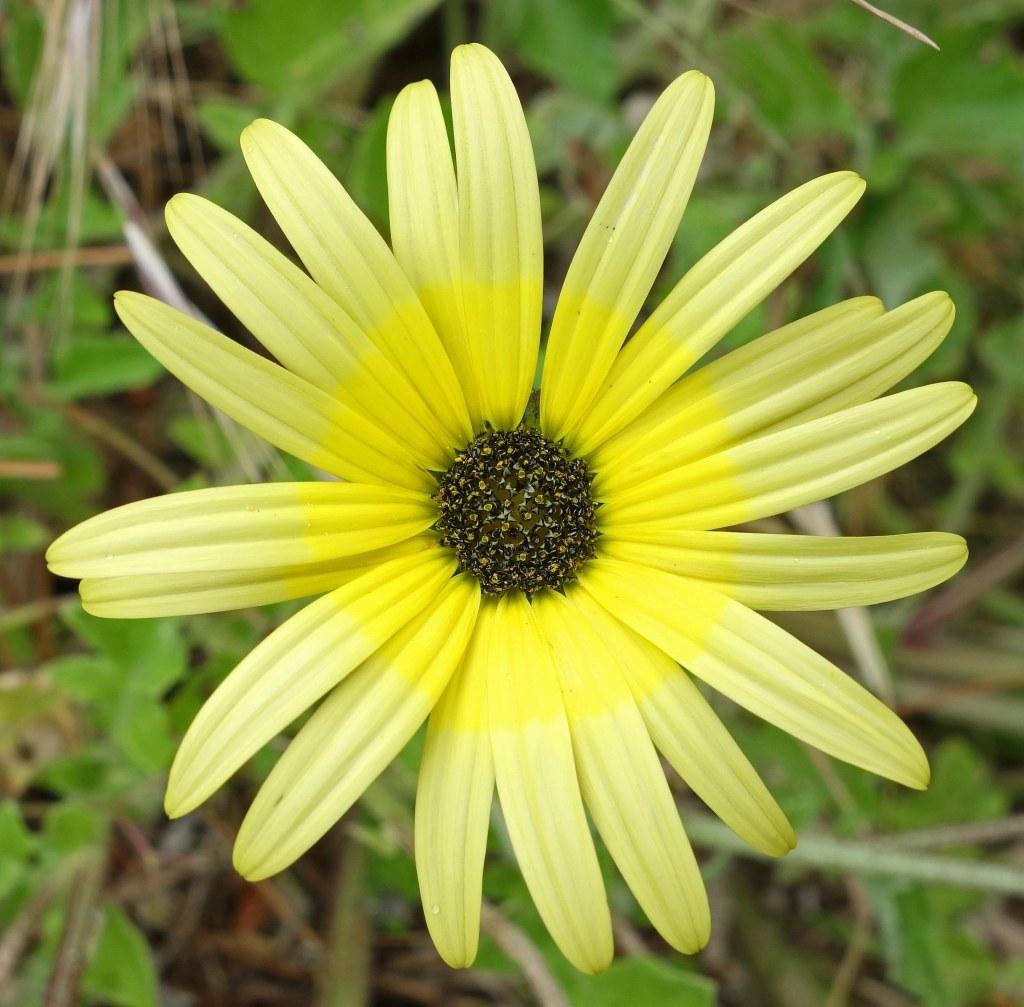 Arctotheca calendula flower