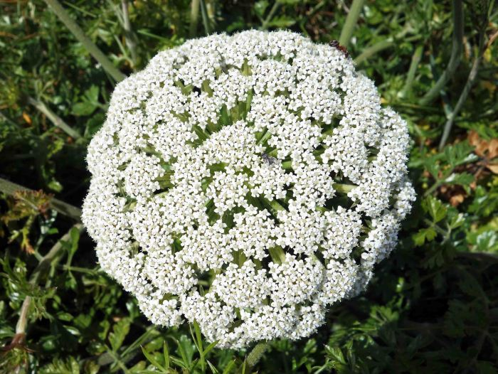 Central umber of Sea carrot (Daucus carota subsp. gummifer) Galicia