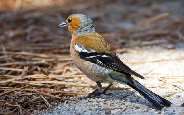 Chaffinch (Iberian) ( Fringilla coelebs balearica) male in Galicia, Spain