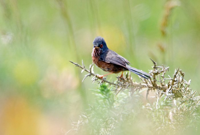 Dartford warbler (Sylvia undata) male with crown, late May