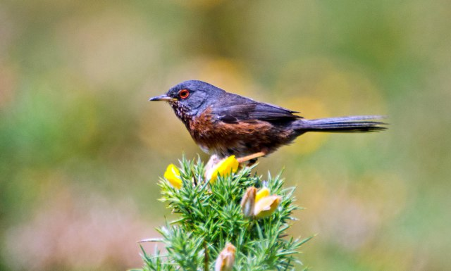 Dartford warbler (Sylvia undata) with red orbital ring and orange iris, late May, Galicia, Spain