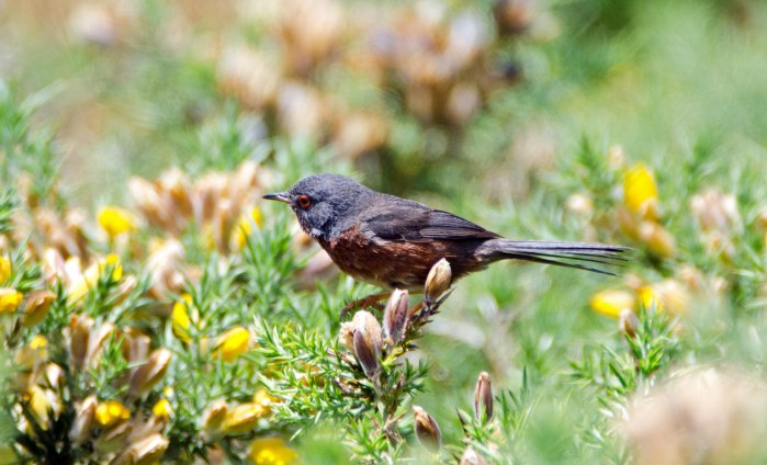 Dartford warbler (Sylvia undata) late May, Galicia, Spain