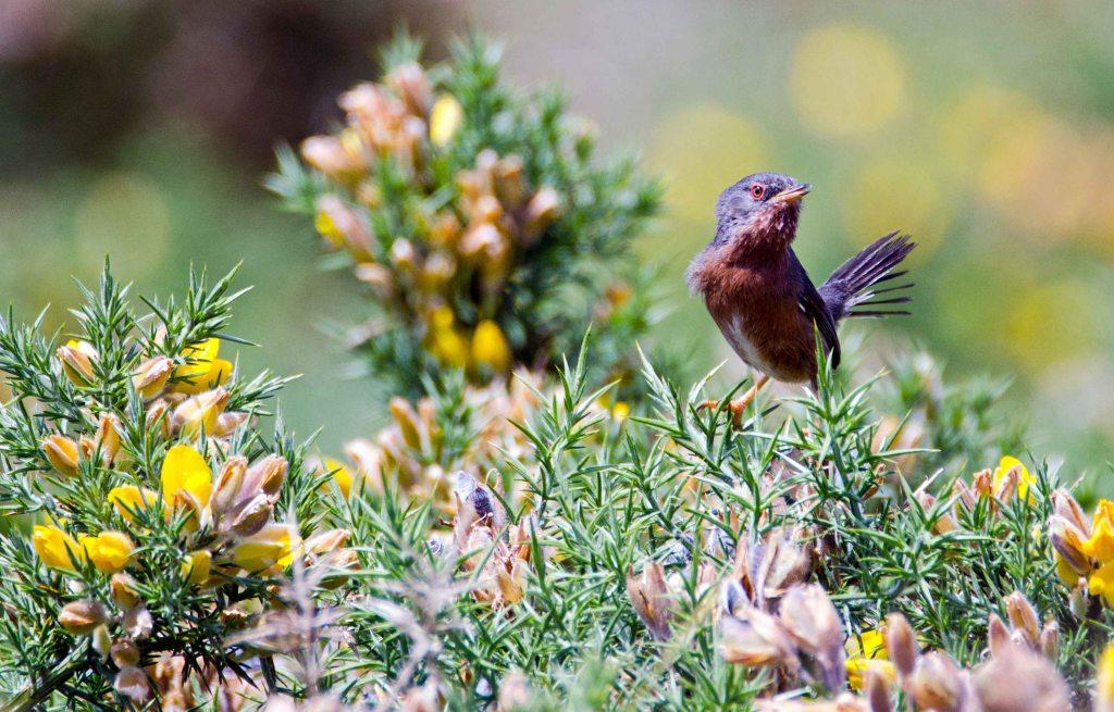 Dartford warbler (Sylvia undata) female? looking at the camera, late May, Galicia