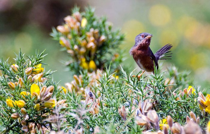 Dartford warbler (Sylvia undata) female? looking at the camera, late May, Galicia
