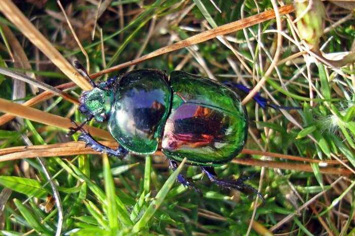 Dung beetle (Trypocopris [=Geotrupes] pyrenaeus var. var. coruscans)