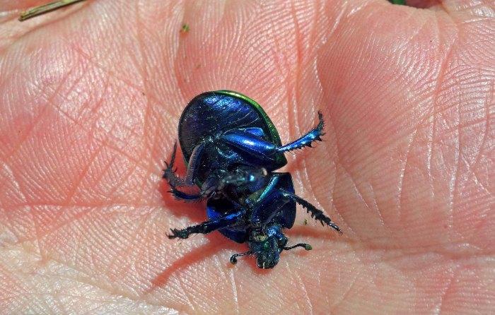 Dung beetle (Trypocopris [=Geotrupes] pyrenaeus var. var. coruscans) underside