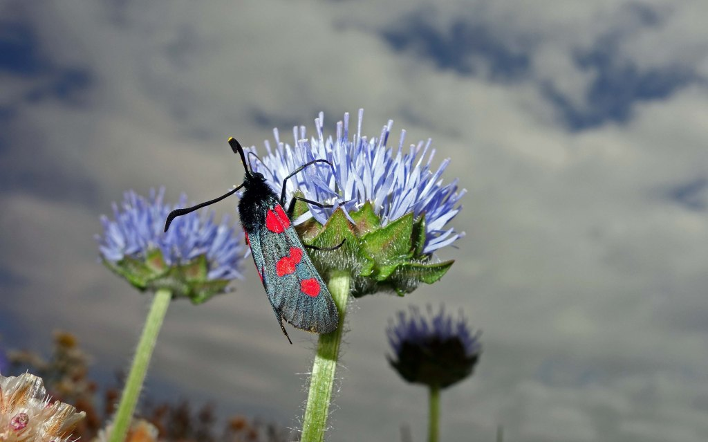 Five-spot Burnet (Zygaena trifolii) feeding on Sheep's Bit scabious in NW Spain