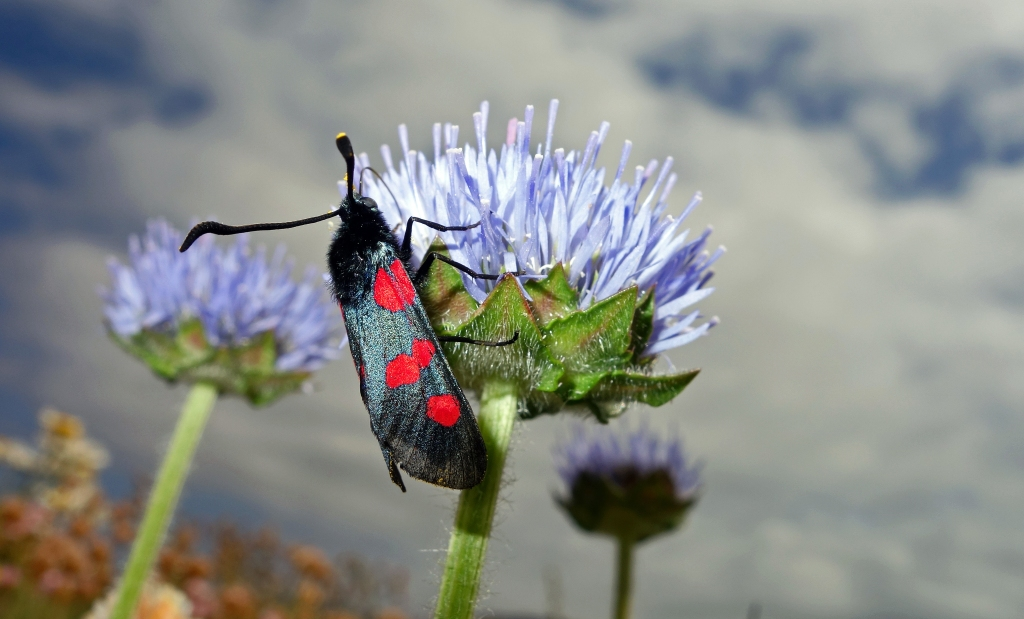 Five-spot Burnet (Zygaena trifolii) on Sheep's Bit Scabious NW Spain