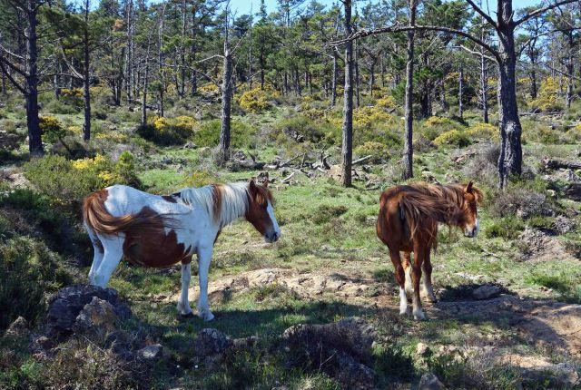 Galician ponies