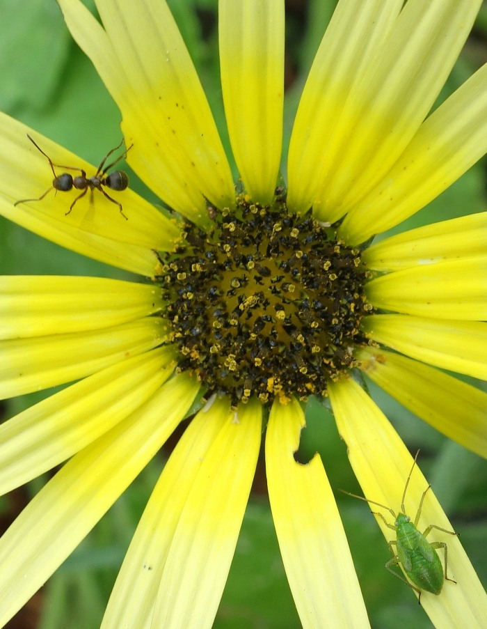 Green mirid and ant on Arctotheca calendula flower