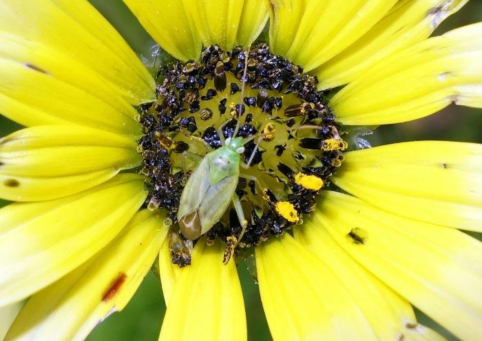 Green mirid on Arctotheca calendula flower