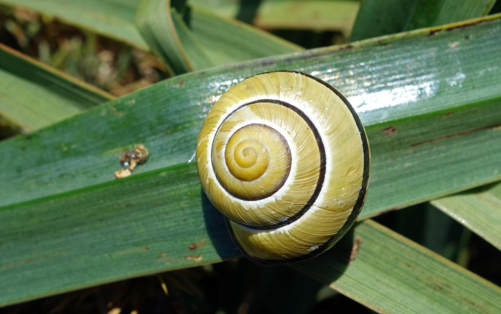 Grove snail (Cepea nemoralis) one-banded, yellow form from Galicia, Spain