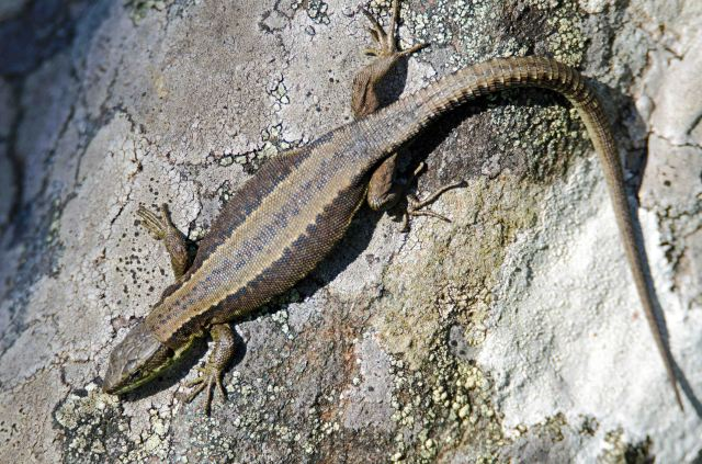 Iberian mountain lizard (Iberolacerta monticola cantabrica) female