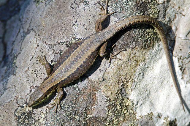 Iberian mountain lizard female